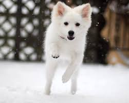 types of american eskimo dogs everything about your american eskimo dog luv my dogs