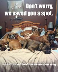 Funny Boxer Dog Memes - carolina boxer rescue don t worry we saved you a spot imgur