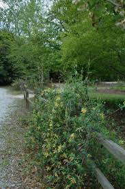 best 25 honeysuckle vine ideas on pinterest pergolas arbors and