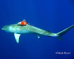 cooler than sharkweek real shark biologist mark royer science