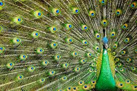 merak hijau file the beauty of java peacock jpg wikimedia commons