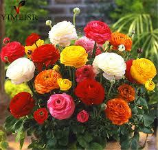Ranunculus Aliexpress Com Buy 100 True Ranunculus Double Buttercup Mix 20