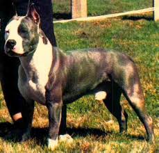 american pit bull terrier bully the real apbt red nose and blue nose