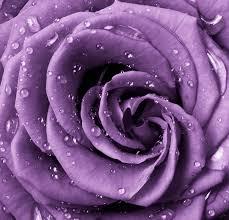 lavender roses lavender roses wallpaper hd wallpapers
