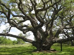 big tree pat bean s