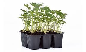 basilico in vaso malattie pianta di prezzemolo comune in vaschetta savini vivai di savini