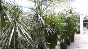 Dracaena Marginata Dracaena Marginata Plant And Bamboo Palm Tree Youtube