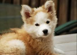 bichon frise shih tzu mix for sale dog u2013 dog
