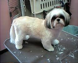 list of shih haircut google image result for http www groomers net discus messages 93