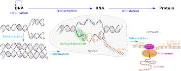 Dna Rna And Protein Synthesis Worksheet Nucleic Acids