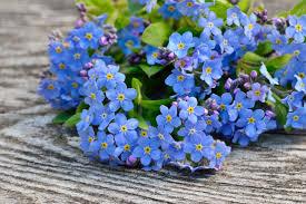 forget me not 10 flower names merriam webster