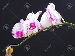 orchid moth orchid butterfly stock photo picture and royalty