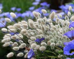 lagurus ovatus bunny tails buy at s annuals