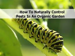 Gardening Pest Control - how to naturally control pests in an organic garden