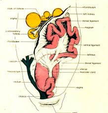 Anatomy Of Reproductive System Female The Female Reproductive System Along Comes The Egg Pet Birds