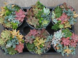 common succulent myths world of succulents