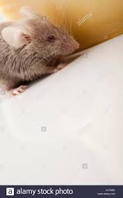 food aliment animal pet mouse cheese funny rat furry