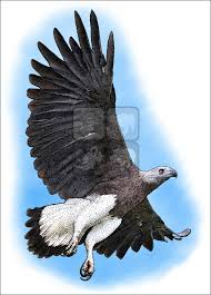 grey headed fish eagle ichthyophaga ichthyaetus line art and