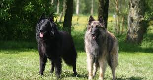 belgian sheepdog epilepsy belgian tervuren everything you need to know about the breed
