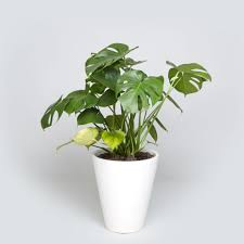 the case study funnel with monstera plant monstera deliciosa