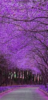 the 25 best jacaranda trees ideas on purple flowering
