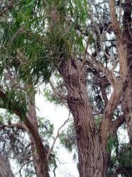 flora friend peppermint tree abc south coast wa australian