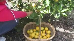 picking lemons my tree