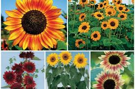 seeds for beginners sunflowers birds and blooms