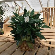 peace lily pan peace lily in peabody ma evans flowers