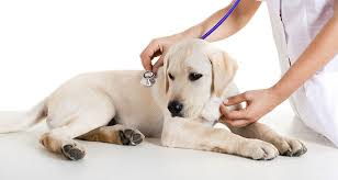 australian shepherd vomiting dogs and chronic vomiting causes and treatments cesar u0027s way