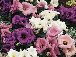 lisianthus flower lisianthus plants the beautiful like flower beabeeinc