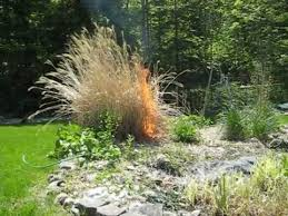 ornamental grasses torched to perfection