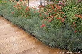 festuca elijah blue knoll gardens ornamental grasses and