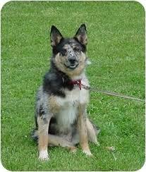 australian shepherd blue heeler mix ginny adopted dog austin mn blue heeler australian shepherd mix