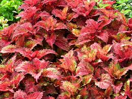 coleus u2013 indian summer indian summer gardens and foliage plants