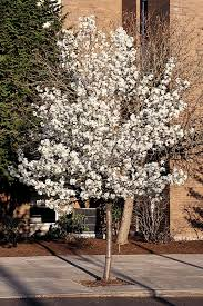 cleveland select flowering pear monrovia cleveland select