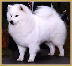 american eskimo dog black the most most fox like breed of dog topics on exotic domestic