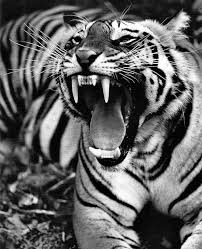 beautiful black black and white tiger image 283708 on