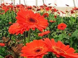 gerbera plant gerbera plant ethics agrotech limited surat