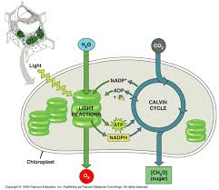 The Light Reactions Of Photosynthesis Use And Produce Quia Ap Chapter 10 Photosynthesis Basic