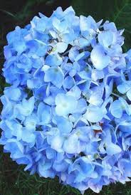 flower hydrangea changing the color of hydrangeas plant addicts