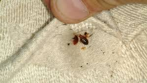 How To Identify Bed Bugs Do You Know How To Spot A Bedbug Cbs News