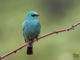 Verditer Blue Image Of The Day Verditer Flycatcher Creative Praveen