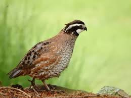 how rutgers alumni are bringing quail back to new jersey new