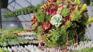 Succulent Planters For Sale by Succulent Plant Moss Ball Youtube