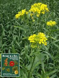 brassicaceae mustard family identify plants weeds and flowers