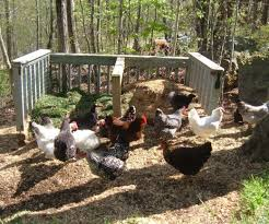 Chickens Backyard Raising Chickens In The Backyard Our Urban Chicken Coop Hubpages