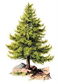 the graphics fairy llc vintage clip art perfect pine tree