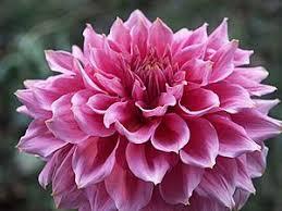 pink flower pink