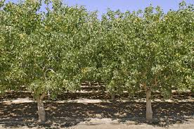 helpful pistachio pruning tips how and when to prune pistachio trees